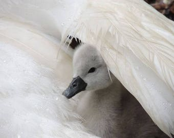 Swan Photograph - Baby Swan - Cygnet - It's Raining - Cygnet With Swan - 2 days old Cygnet - Baby Animal - Nature - Cute - Tenderness - Bird