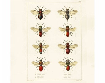 Original Antique Natural History Entomological Print - Wasps - Hand Colored