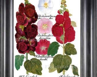 BOTANICAL PRINT Besler 8x10 Botanical Art Print 78 Beautiful Pink Burgundy Hollyhock Flower Summer Garden Antique Writing to Frame