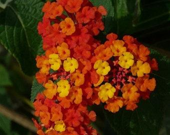 Lantana Seeds