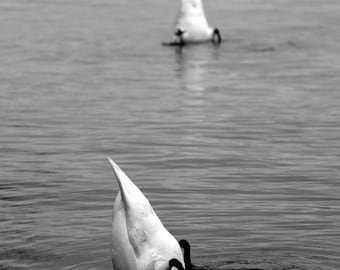 Diving swans - Limited edition