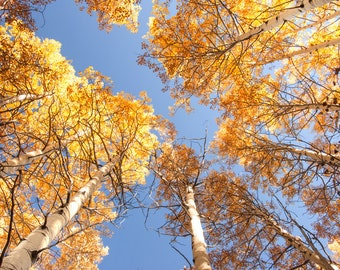 Aspen trees fall photo, Colorado aspen wall art, fall trees photo, log cabin decor, fine art photography, rustic wall art | Golden Canopy