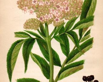 Original 1860 Victorian Flower Plant Print Botanical Chromolithograph - Dwarf Elder