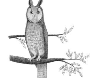 Long-Eared Owl - 4x6 print