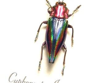 Real Framed Rare Cyphogastra Javanica Metallic Jewel Beetle 2528