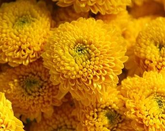 100 Seeds Chrysanthemum Yellow Button Flower Seeds