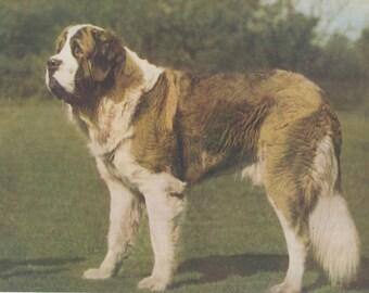 Saint Bernard Dog St. Bernard Dog Vintage Color Art Print 1935