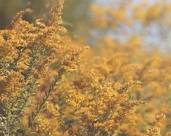 Goldenrod Color Photo Print { field, flower, yellow, sunshine, sunlight, rays, lean, wild, wall art, macro, nature & fine art photography }