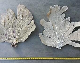 """Sea Fan 25-28"""" Pair, Dried Sea Fan Coral, Gorgonian Coral, Beach Art, Nautical Living, Framed Sea Fan"""