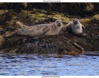Photo Print 'Pair of Common Seals'