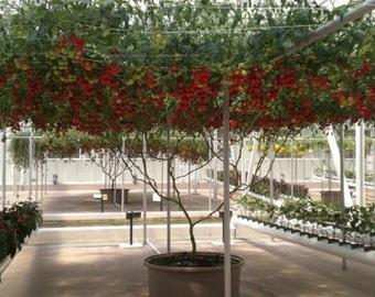 Italian Tree tomato  20 seeds