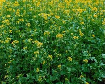 Yellow Mustard Herb Seeds/Sinapis Alba/Annual   75+