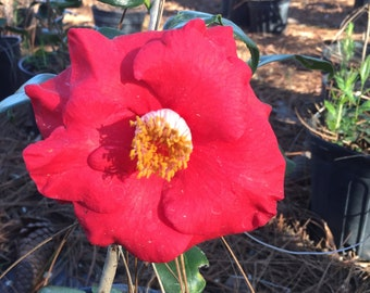 Camellia japonica Cassie Red Blooms Beautiful Nursery Gallon Plant