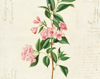 "Vintage Botanical Flower ""Weigelia Rosea"" on French Ephemera Print 8x10 P32"