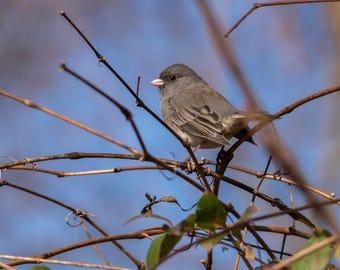 Dark Eyed Junco Fine Art Photo Print - Wildlife Photography - Bird Photography - Nature Photography - Gifts for Nature Lovers - Songbirds