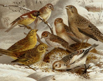 1894 Antique lithograph of SPARROW BIRDS. Sparrows. Birds. Buntings. Ornithology. Songbirds. 124 years old gorgeous print