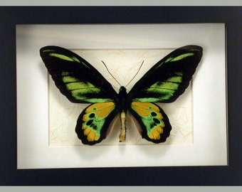 Lemon-Lime Iridescent Ornithoptera rothschildi -Real Framed Butterfly