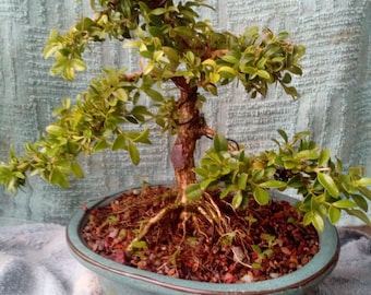 Dwarf boxwood live bonsai
