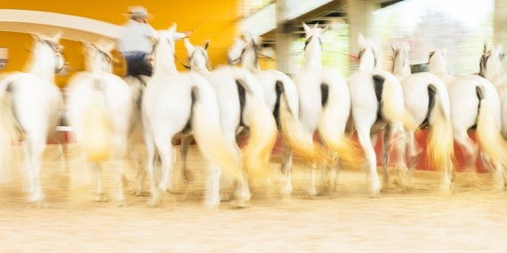 "Horse Prints, ""FAIRYTALE HORSES 2"". white horses, horse print, Equestrian Art Prints, equine art Print, Spanish Horse Prints"