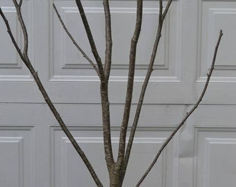 Alder Multi Forked Limbs  3' to 4' tall