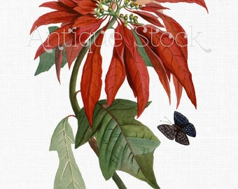 Poinsettia Digital Clip Art 'Christmas Flower' Vintage Botanical Illustration for Collages, Scrapbook, Transfers, Gift Tags, Home Decor...