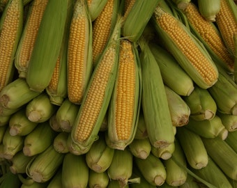 Sweetcorn Seeds  Seneca Chief  Canadian  Golden Yellow Kernels  200+ Seeds