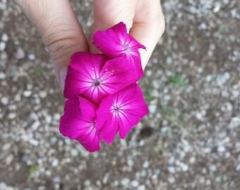 Organic Rose Campion Seeds