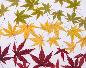 Real Pressed Japanese Maple Leaves (10 pack), Pressed Leaves, Autumn Leaves, Fall Decor, Fall Leaves, Dried Autumn Leaves, Autumn Decor