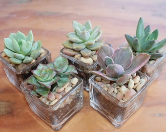 """200 DIY Wedding Collection Succulents in 2"""" containers with Beautiful Square Glass Votives Complete Favor Kit succulents party gifts"""