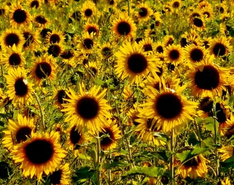 FIELD OF SUNFLOWERS--Sunflower Field, Nature Photography, Farm Photography, Sunflowers, Michigan Photography, Picture of Sunflowers, Flowers