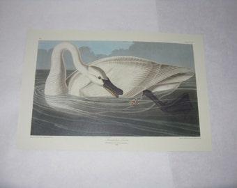 Audubon print unframed trumpeter swan reproduction