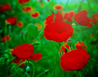 Poppies Photography Nature Photography Poppies Spa Wall Art Peaceful Wall Art Bedroom Wall Art