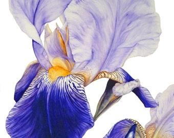 Purple Iris Botanical print, Botanical Illustration Wall Art, Gifts For Her, Botanical Art Wall Art, Iris Flower Painting, Watercolor Flower