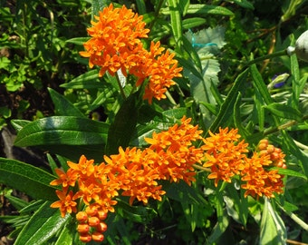Butterfly Weed Seeds - Asclepias tuberosa