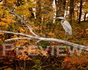 Heron in the Fall