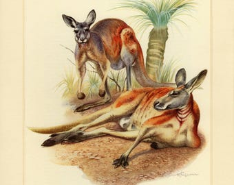 Vintage lithograph of the red kangaroo from 1956