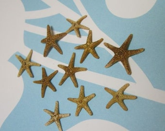10 Tiny Starfish  - Tampa Bay Sea Stars - 3/4 inch to 1 inch