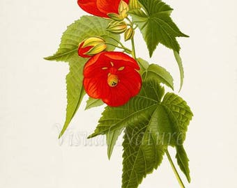 Hybrid Abutilon Flower Art Print, Botanical Art Print, Flower Wall Art, Flower Print, Red Flower Art Print, Home Decor