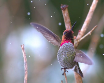 Anna's Hummingbird in Snowstorm
