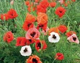 Poppy- Orientale Mixed Colors- 500 Seeds