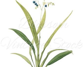 Blue Flowers Botanical Digital Image, Antique Illustration INSTANT DOWNLOAD Vintage Digital Image, Clipart - 1014