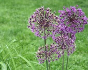 Purple Explosions, Flowers, Original Photograph, Handmade, Original, Nature