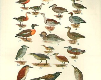 Birds 1931 Australian Book Print natural science plate XXXIII, bird prints