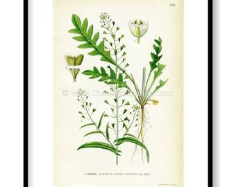 1922 Shepherd's Purse Antique Print (Capsella Bursa Pastoris) by Lindman, Botanical Flower Book Plate 205, Green, White