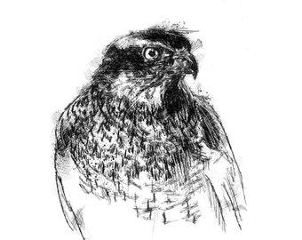 Goshawk sketch | Limited edition fine art print from original drawing. Free shipping.