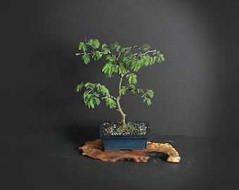 Brazilian raintree bonsai tree, Exotic flora collection from LiveBonsaiTree