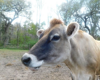 Wesley the cow