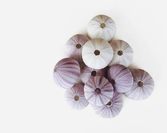 12 Pack Purple Sea Urchin Shells For Air Plants