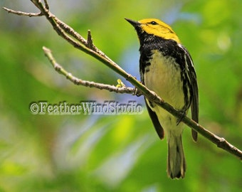Black Throated Green Warbler | Ohio Nature Photography | Spring Birding | Bird Watcher Photo Art | Gift For Birder | Bird Watching Art Print