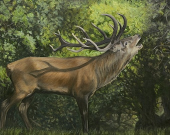 Exmoor Red Stag Bolving